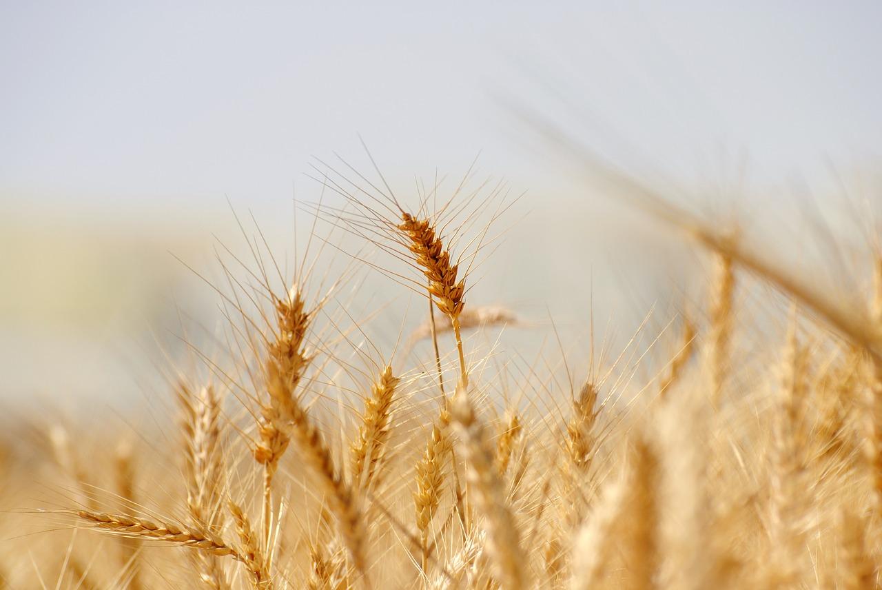 讃岐うどん 小麦 いりこ とさくら 高知 ブログ