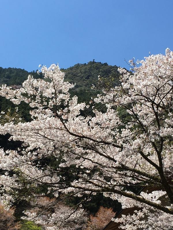 桜 sakura ソメイヨシノ ゆの森 温泉 春  マンガ とさくら とさくらマンガブログ ブログ Tosakura 高知 中津渓谷